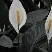 Skrzdłokwiat Odmian
