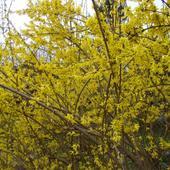 Kwiaty - Forsycja