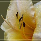 liliowiec