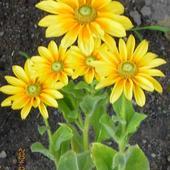 Słoneczniki mini