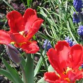 Tulipany papuzie z szafirkami w tle