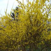 Wiosenna Forsycja