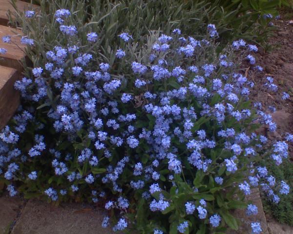 niezapominajki są to kwiaty z bajki