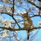 Kotek na kwitnącej czereśni