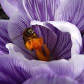 Krokus I Pszczoła P