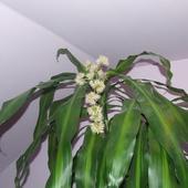 Kwitnąca Dracena