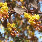 Kwitnący Berberys T