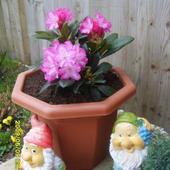 Rhododendron Blurett