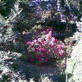 Rododendron '08