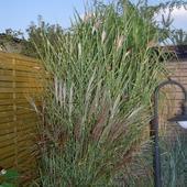 Trawy bambusowe