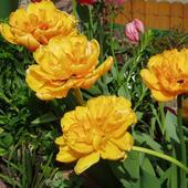 Tulipany Przypominaj