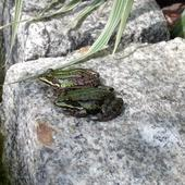 Żabki wodne