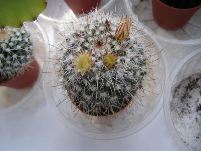 tak kwitnie mój kaktusik