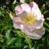 Dzika Róża Jasno R