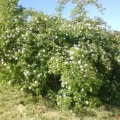 Dzika Róża Jasno-r