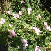Dzika Róża Różow