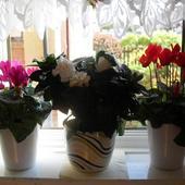 Fiołki I Gardenia