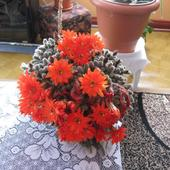 Kwitnący Kaktusik