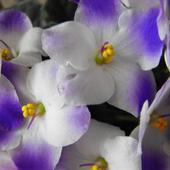 Liliowe liczka