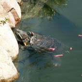 Żółw Kubuś