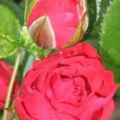 Róża mini