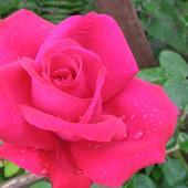 Róża Pnąca