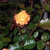 Róża'' Rumba''