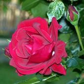 Roza Z Mojego Ogrodu