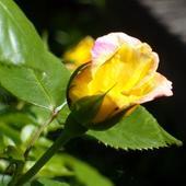 Tez Z Ogrodu-roza