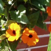 Tunbergia Pomarańcz