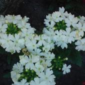 Werbena Biała Kwiat