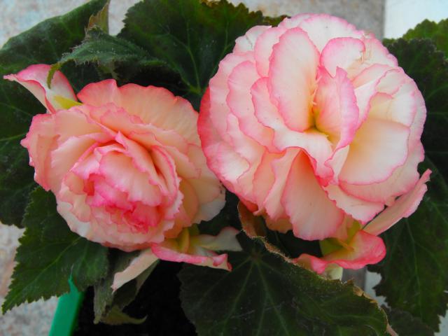 Begonia jasno różowa