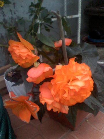 begonia moje cudo ulubione