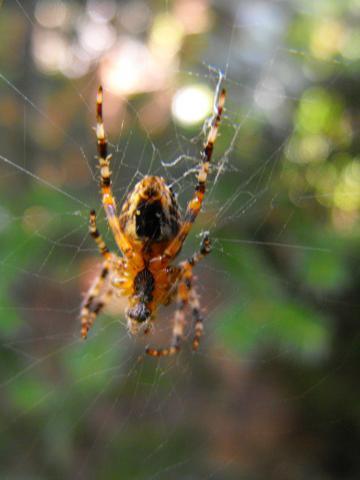 Brzucho pająka