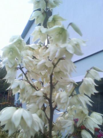 kwiatostan juki