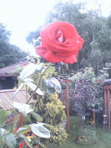 róża palikowa