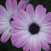 :-) Osteospermum