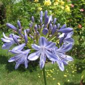 Agapantus-lilia Afry