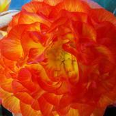 Begonia pomarańczowa