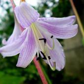 Funkia-  Kwiat