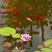 LILIA WODNA-pierwszy kwiat