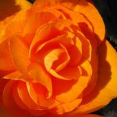 Jak róża