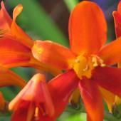 Krokosmia pomarańczowa
