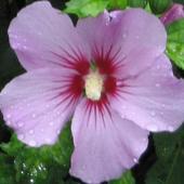 Kwiat hibiskusa w porannym deszczu