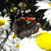 Margerytki Z Motylem