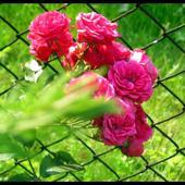 Moje Róże Cd.
