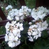 pelargonia biała