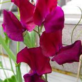 Pierwszy kwiat groszku pachnącego