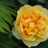 Róża Pnąca ' Gra