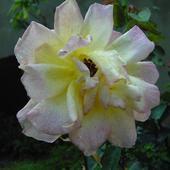 Róża Więdnąca